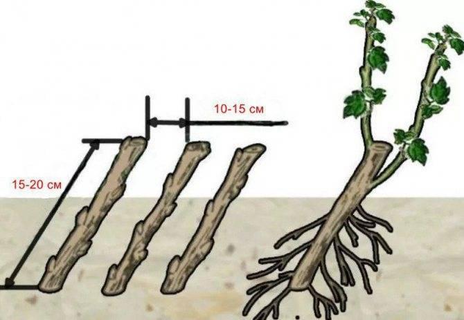 Крыжовник: способы размножения и их эффективность