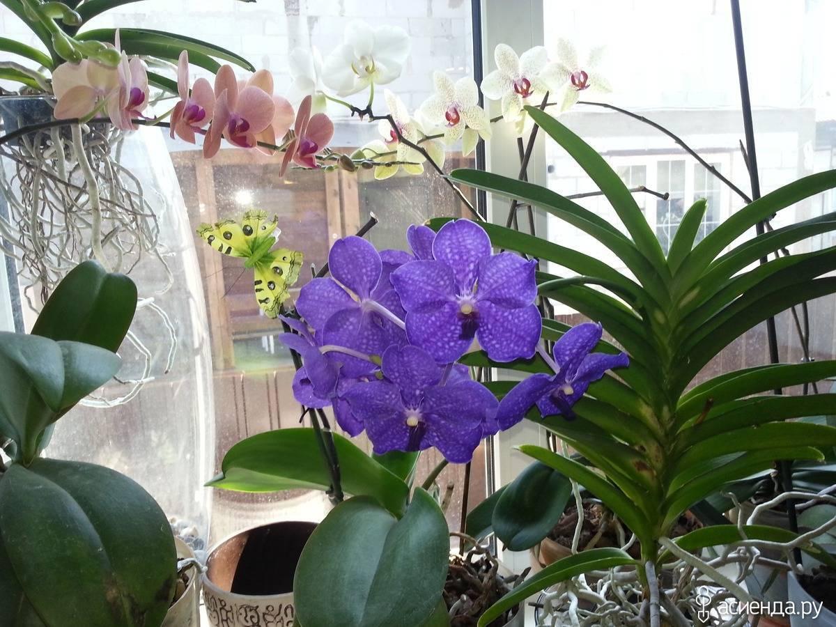 Венерин башмачок или орхидея ванда: фото, особенности выращивания экзотической красавицы с большими яркими цветами