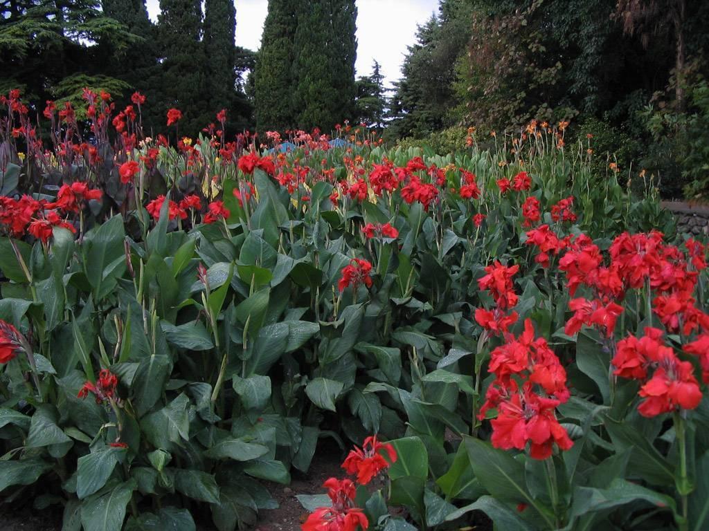 Цветы канны: как ухаживать в домашних условиях, цветение и выращивание в саду