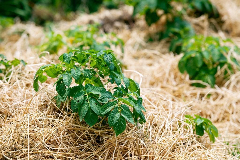 Мульчирование почвы скошенной травой, опилками, корой сосны