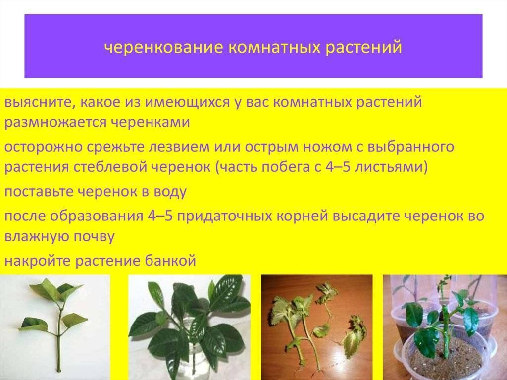 Методы размножения спатифиллума домашнего: семенами, листом, черенками, делением