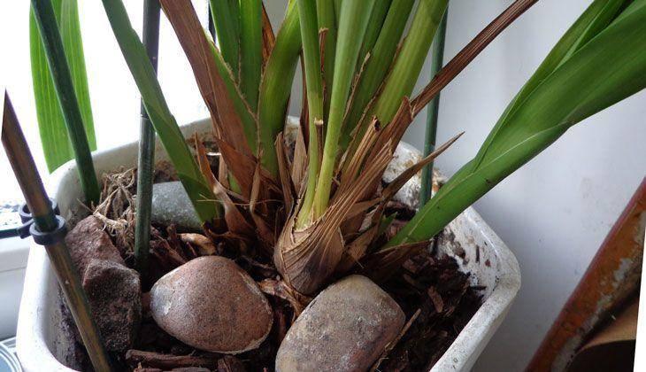Орхидея цимбидиум, уход в домашних условиях, цветение, пересадка и размножение