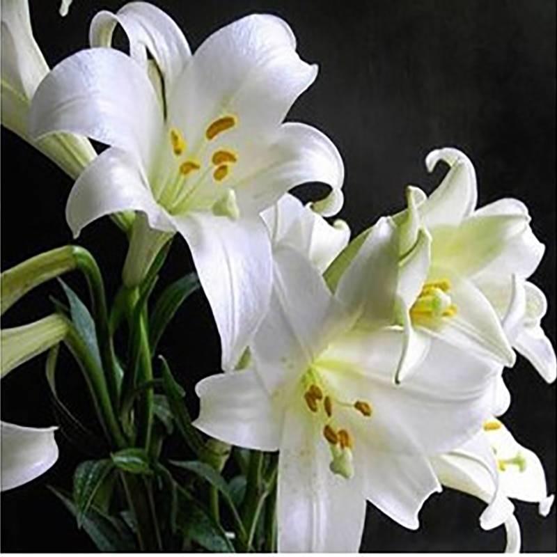 Белые лилии: сорта и выращивание