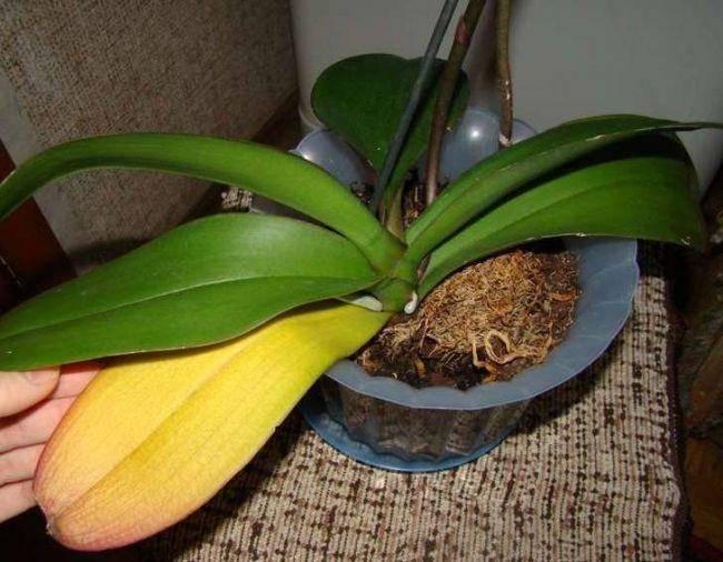 У орхидей желтеют листья нижние — почему и как спасти: описание с фото, причины и лечение, уход в домашних условиях, что делать, если теряют тургор и отвалились