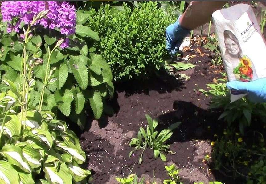 Не надо осторожничать с геранями! герань в открытом грунте - особенности выращивания и ухода