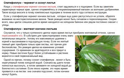 Спатифиллум — уход в домашних условиях, почему сохнут кончики листьев