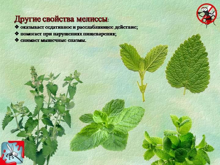 Котовник и мелисса. полезные свойства растений и в чем их отличие?