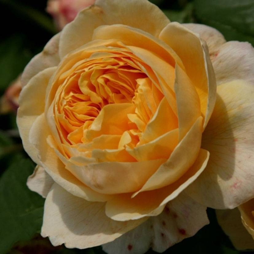 Характеристики английской розы квин оф свиден: что это за морозостойкий сорт