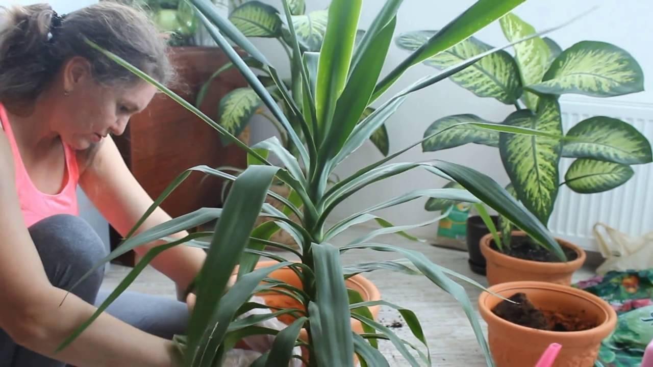 И дома, и в саду — нарядная пальма всегда на виду: уход за юккой садовой