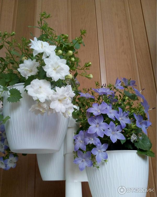 Цветок кампанула — уход в домашних условиях