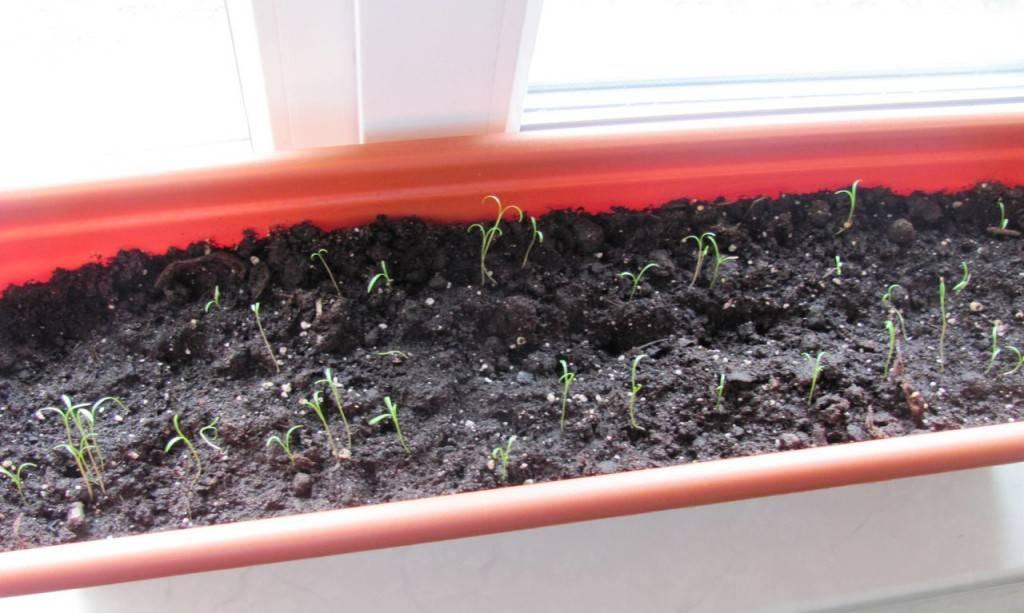 Укроп: выращивание на подоконнике и в открытом грунте