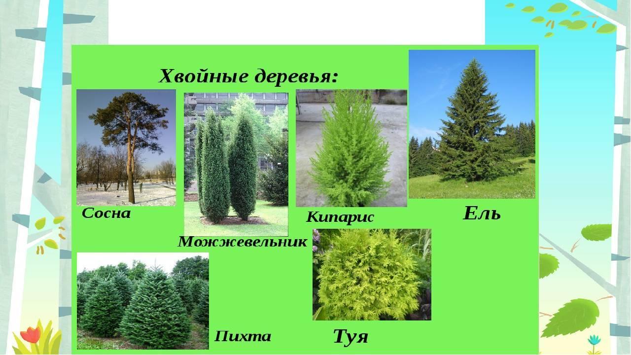 Лиственница - это хвойное или лиственное дерево
