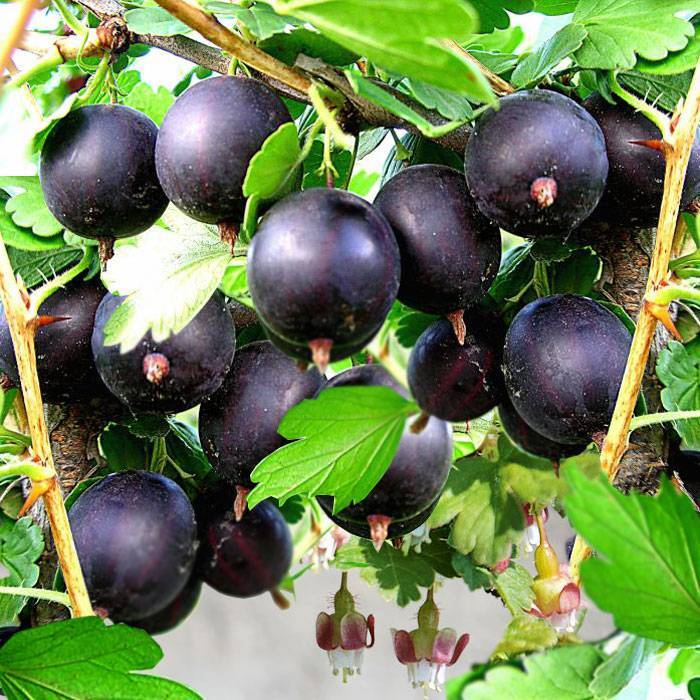 Как выращивают чёрный крыжовник?