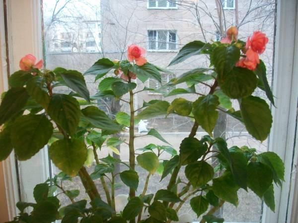 Проблема у бальзамина, или почему у него опадают бутоны и цветы — способы решения и меры профилактики