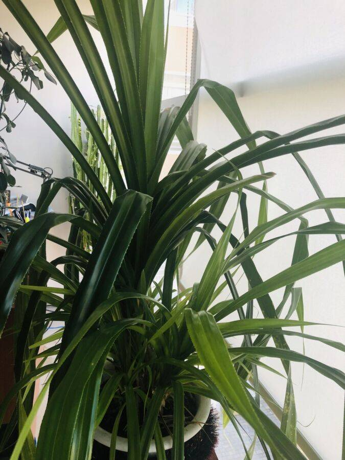 Уход за панданусом в домашних условиях: сорта, фото
