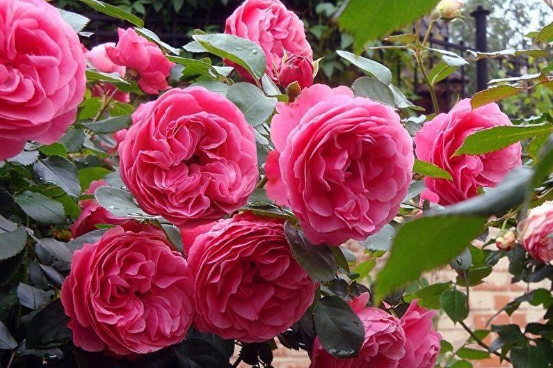 Описание немецкой почвопокровной розы обильноцветущего сорта лариса, уход