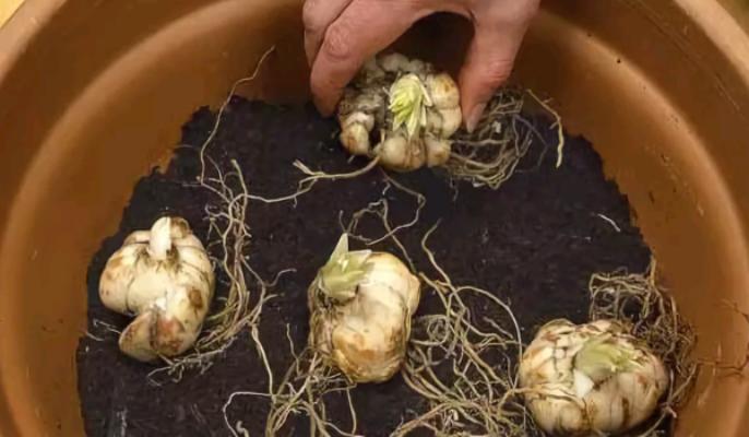 Как выращивать лилии в горшке, выгонка и уход