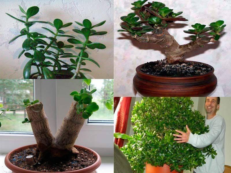 Как размножить денежное дерево?