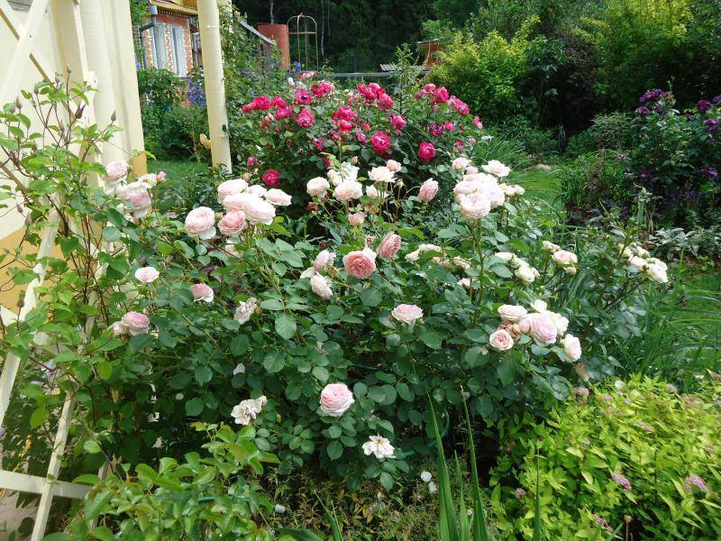 Выращивание канадской розы уильям баффин: что за корнесобственный парковый сорт