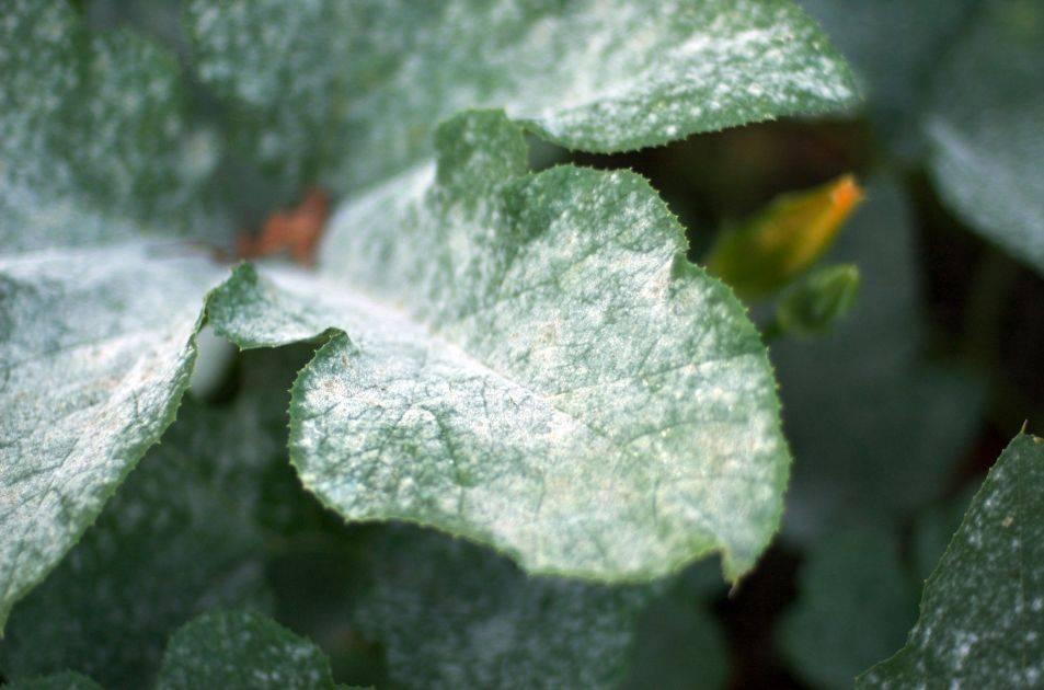 Описание болезней цветков хлорофитумов: причины, как бороться, вредители