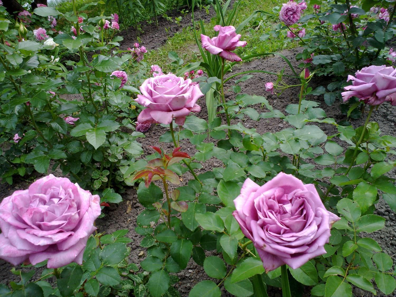 Как обрезать чайно-гибридную розу: правильная обрезка побегов