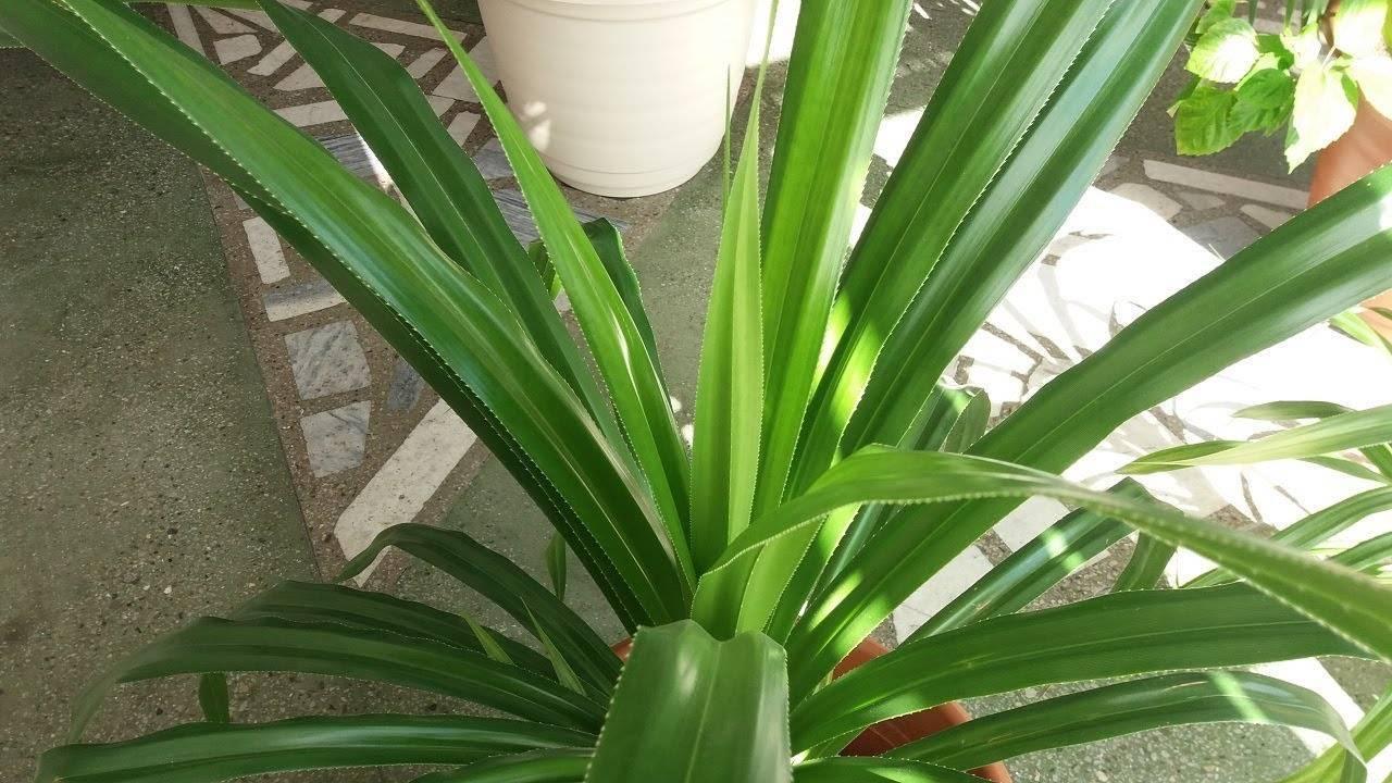 Пальма панданус: уход в домашних условиях. советы для наначинающих