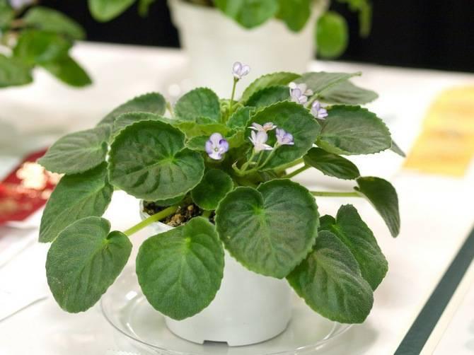 Фиалка – комнатное растение. уход за цветком