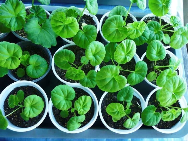 Семена герани: как выглядят на фото, как собрать и получить в домашних условиях, а также как правильно хранить и создать необходимый микроклимат для созревания?