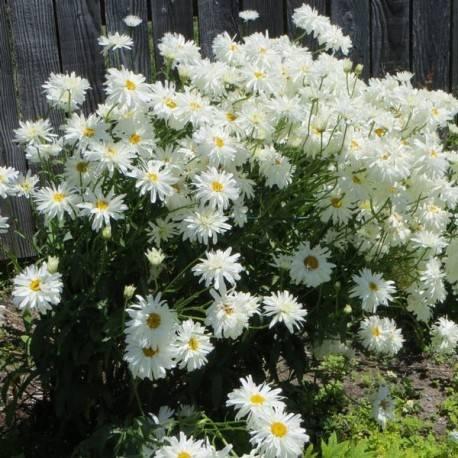 Леукантемум нивяник: разновидности с фото, выращивание из семян