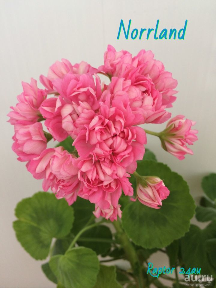 Пеларгония пак вива розита ( pac viva rosita)