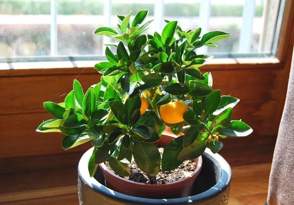Топ-5 цитрусовых, которые легко можно вырастить (и съесть) дома