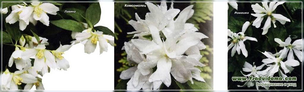 Виды и сорта жасмина
