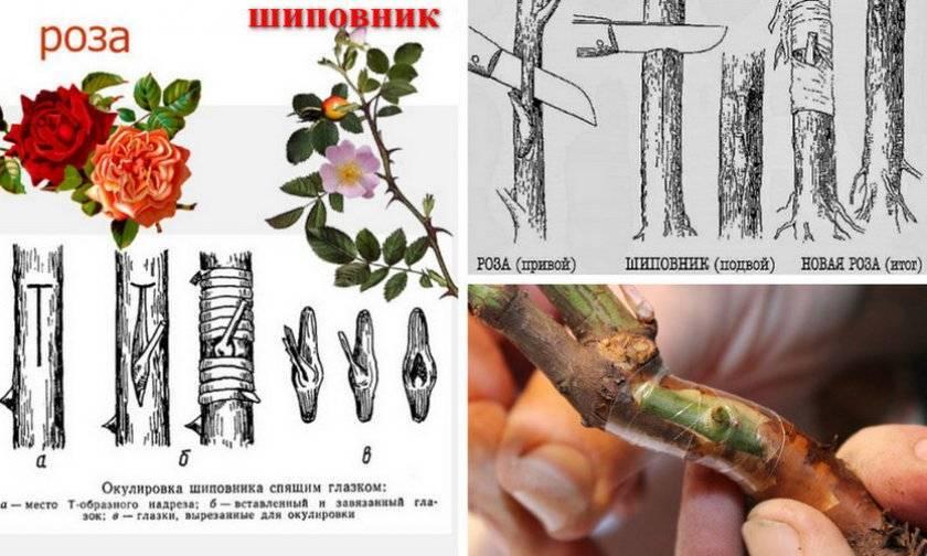 Почему роза превращается в шиповник и что делать?