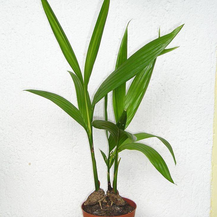 Арека (areca) – домашняя пальма