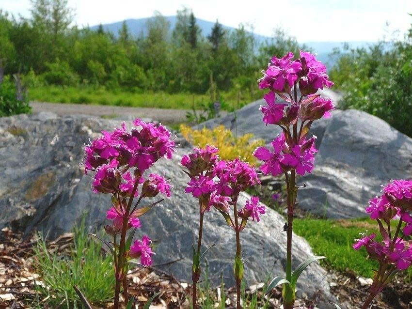 """Красивый цветок """"лихнис корончатый"""". уход, посадка и популярные сорта"""