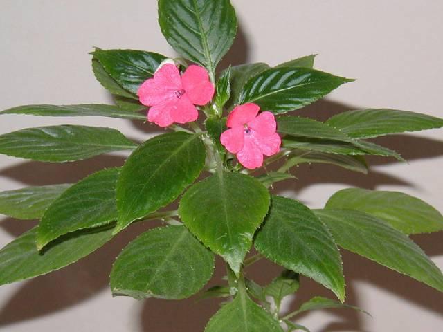Комнатное растение бальзамин (ванька мокрый): виды, уход в домашних условиях, размножение цветка