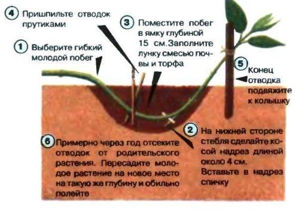 Барбарис «эректа» (35 фото): описание барбариса тунберга erecta, посадка и уход, использование сорта в ландшафтном дизайне