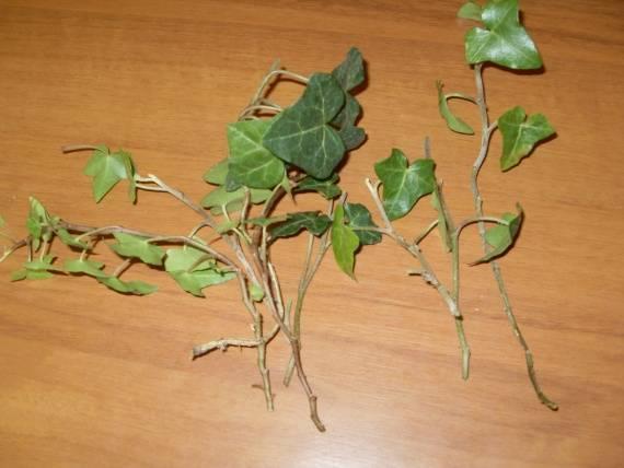 Плющ (хедера hedera) - секреты ухода и выращивание, пересадка, подкормки, размножение