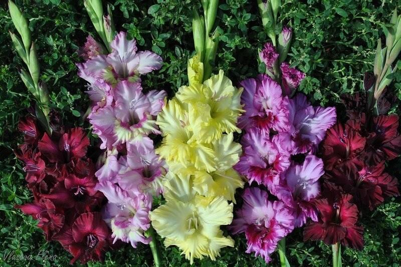 Когда цветет гладиолус: уход в период цветения, как выглядят цветки разных сортов