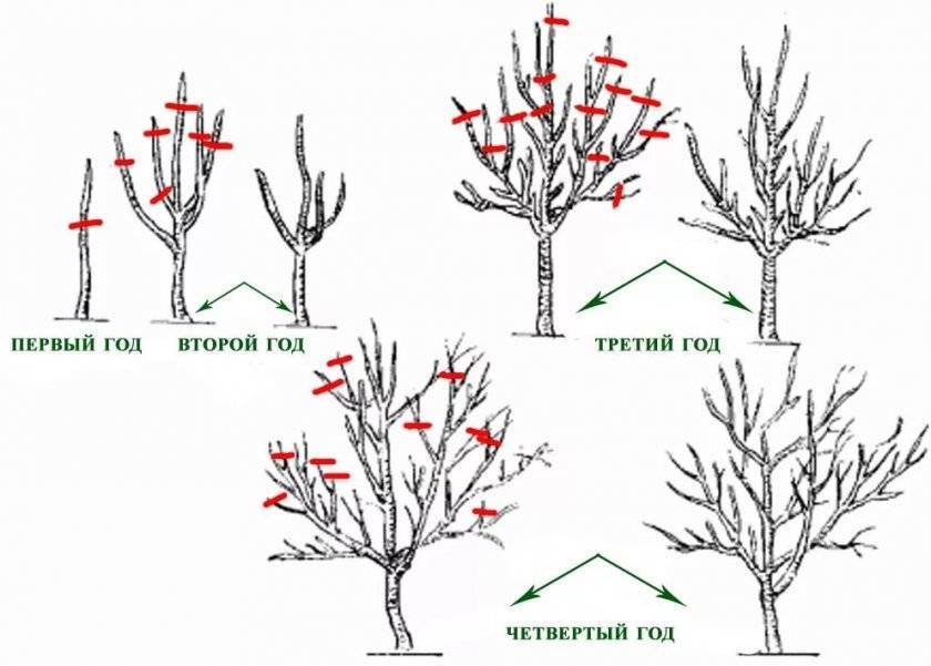 Инструкция по размножению бугенвиллии дома