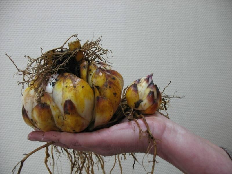 Когда выкапывать тюльпаны и как правильно их хранить