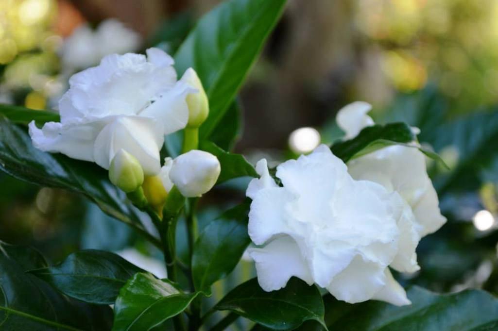 Табернемонтана — уход в домашних условиях