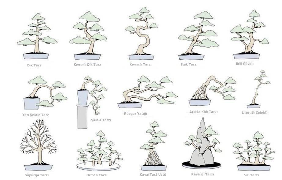 Бонсай из клена: правила ухода и работы с черенком, формирование ствола и кроны