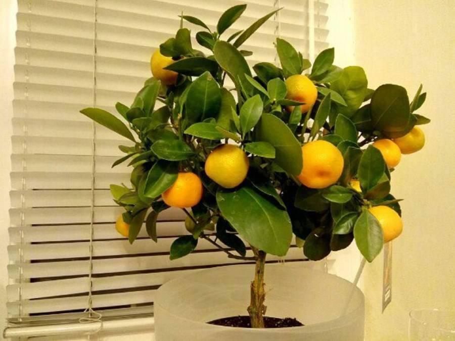 Каламондин: описание и выращивание в домашних условия - энциклопедия цветов