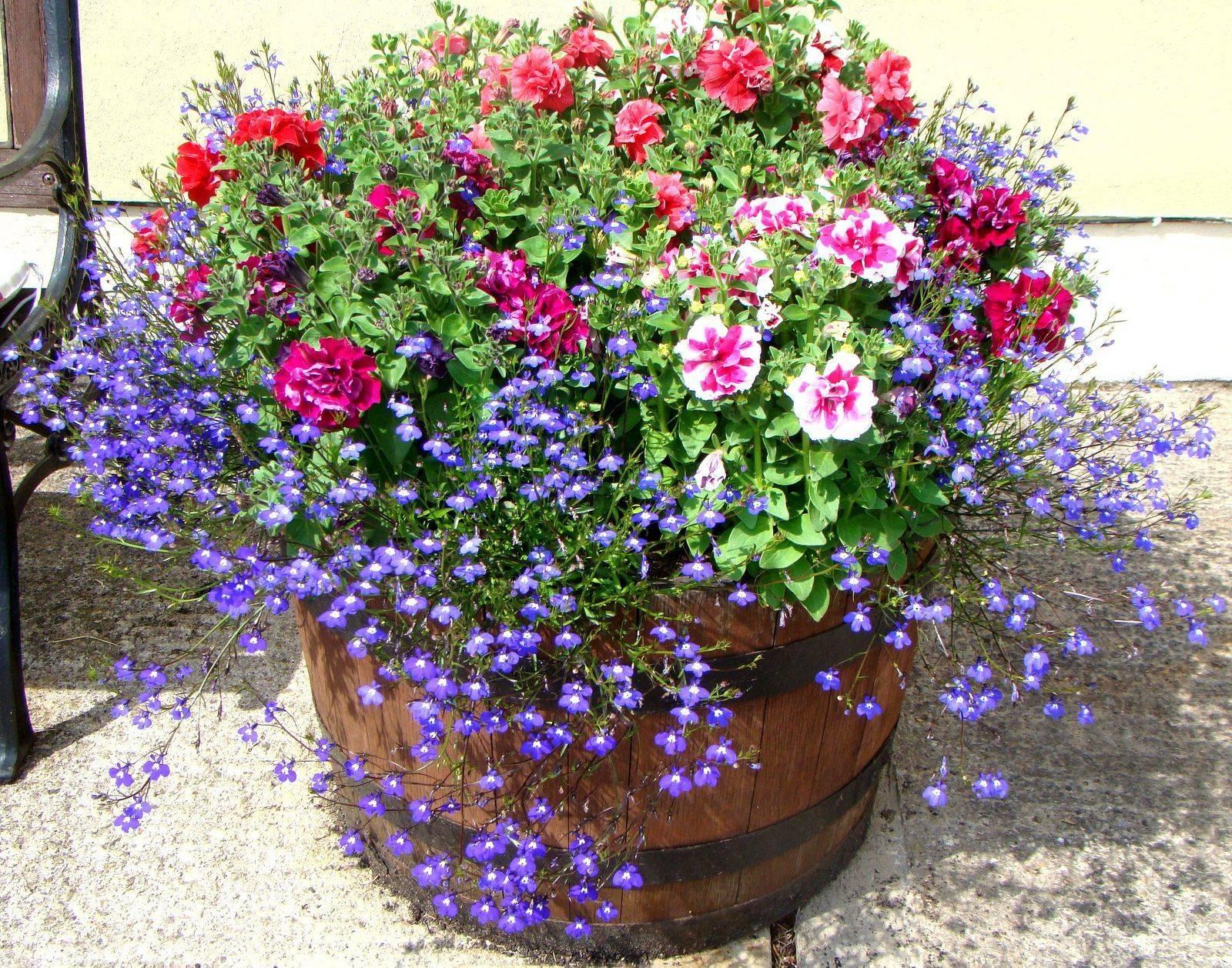 Выращивание лобелии из семян (34 фото): сроки посадки на рассаду, дальнейший уход за цветком в домашних условиях