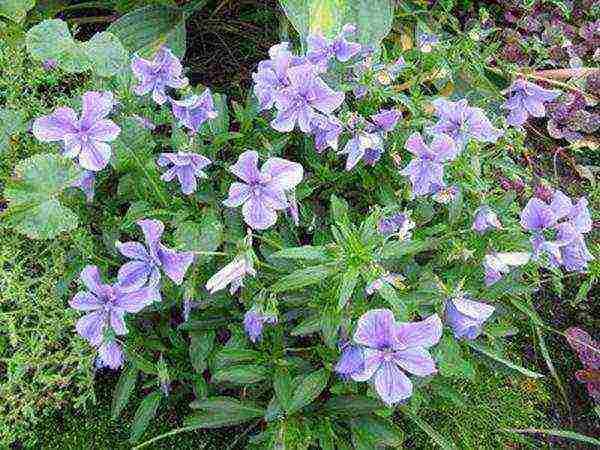 Виола: выращивание из семян, виды и сорта