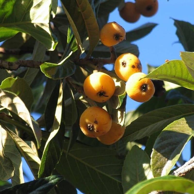 Мушмула кавказская — выращивание в саду в открытом грунте