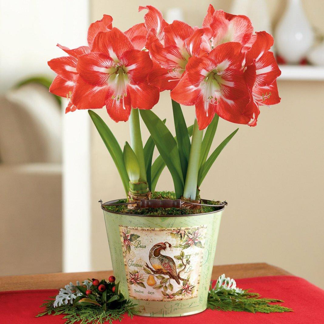 Цветок амариллис: фото и уход в домашних условиях, посадка, цветение
