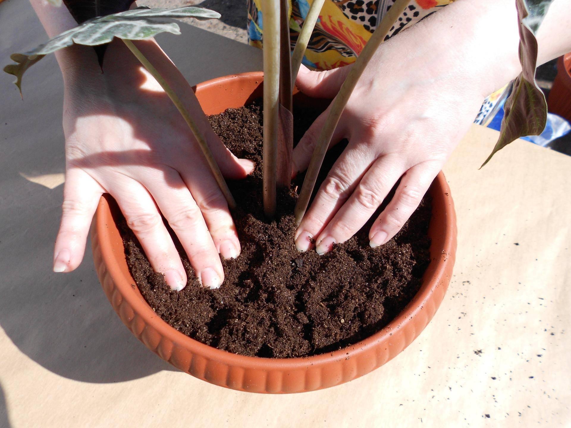 Калатея (70 фото): уход и выращивание