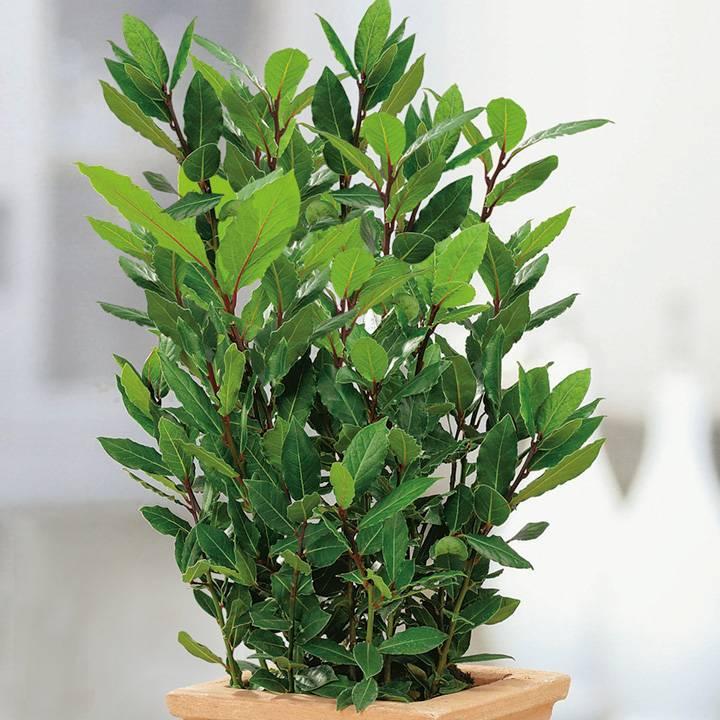 Лавровое дерево — выращивание в домашних условиях - pocvetam.ru